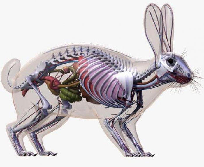Скелет кролика картинка