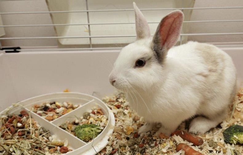 содержание, декоративный, кролик, квартира, вольер