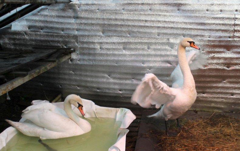 содержание лебедей в домашних условиях