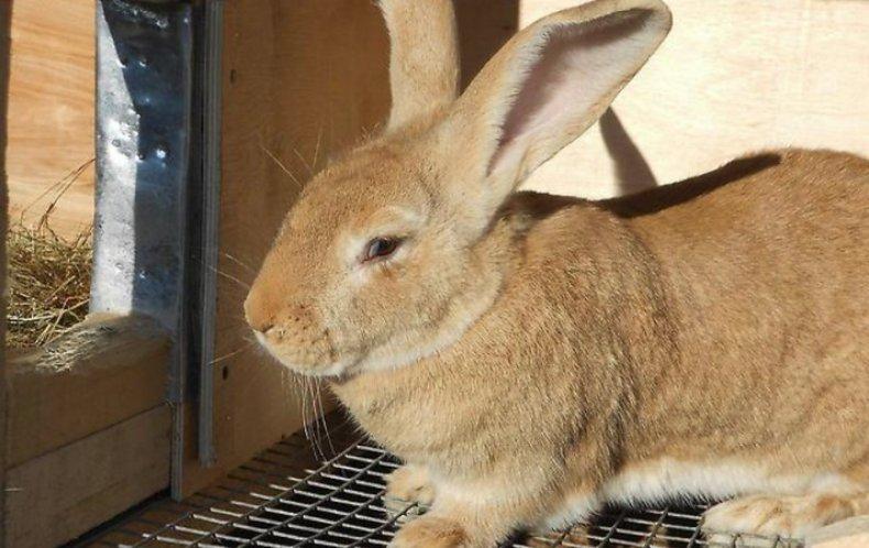 Кролик голден ризен