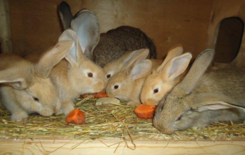 Кролики голден ризен кушают