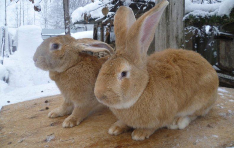 Кролики голден ризен