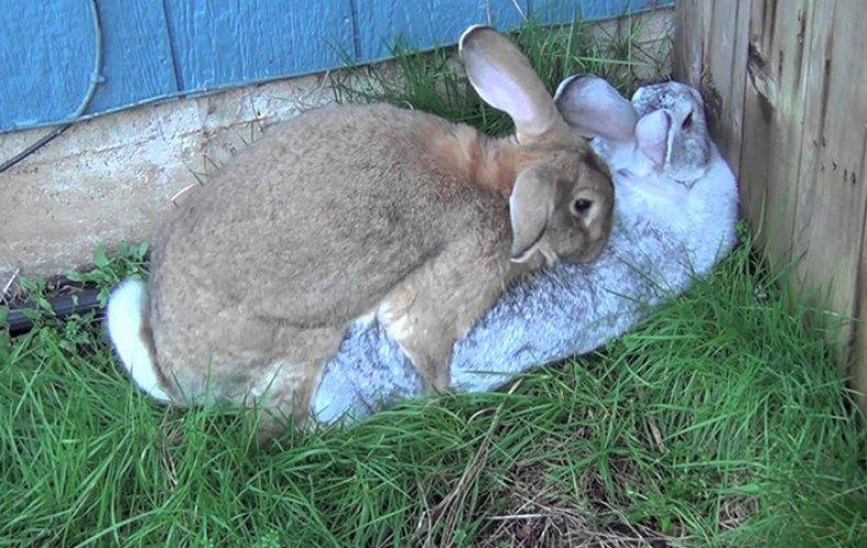 Половая охота у кроликов
