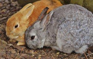 Болезнь печени у кроликов белые пятна