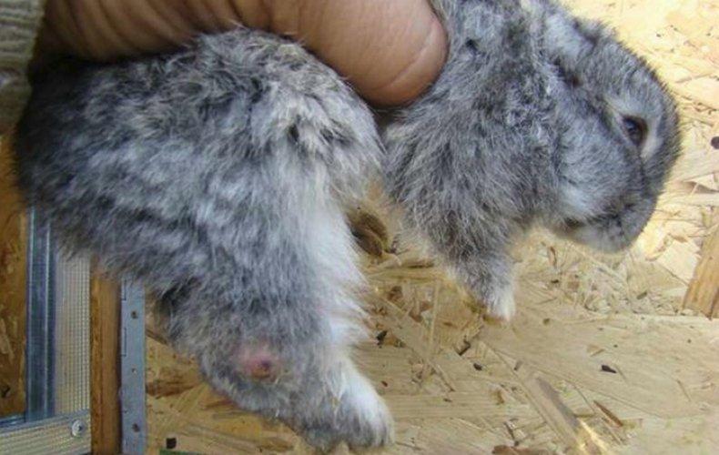 Болезни печени у кроликов симптомы, возможные заболевания, лечение