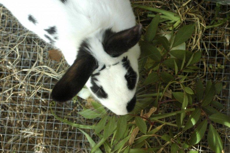 Кролик ест зелень