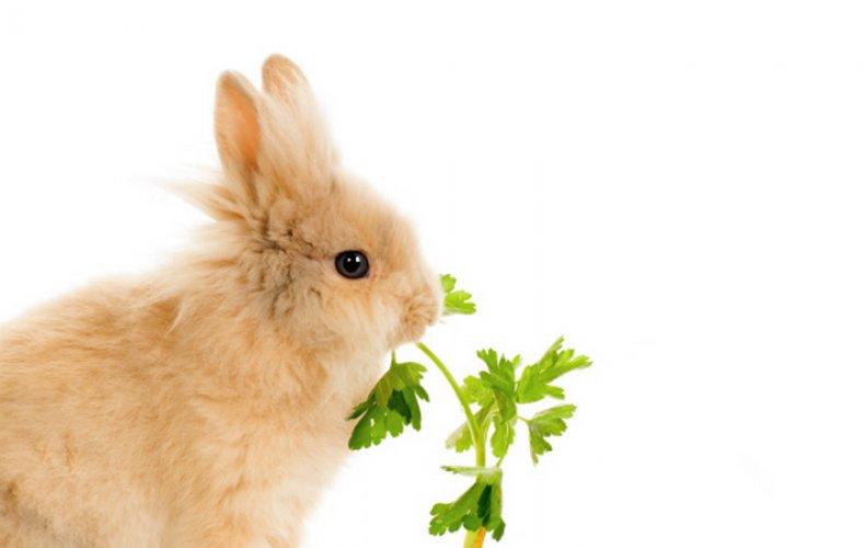 Кролик кушает петрушку