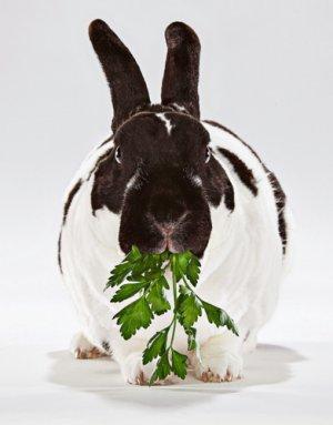 кролик, петрушка, какого возраста, кроликов петрушкой