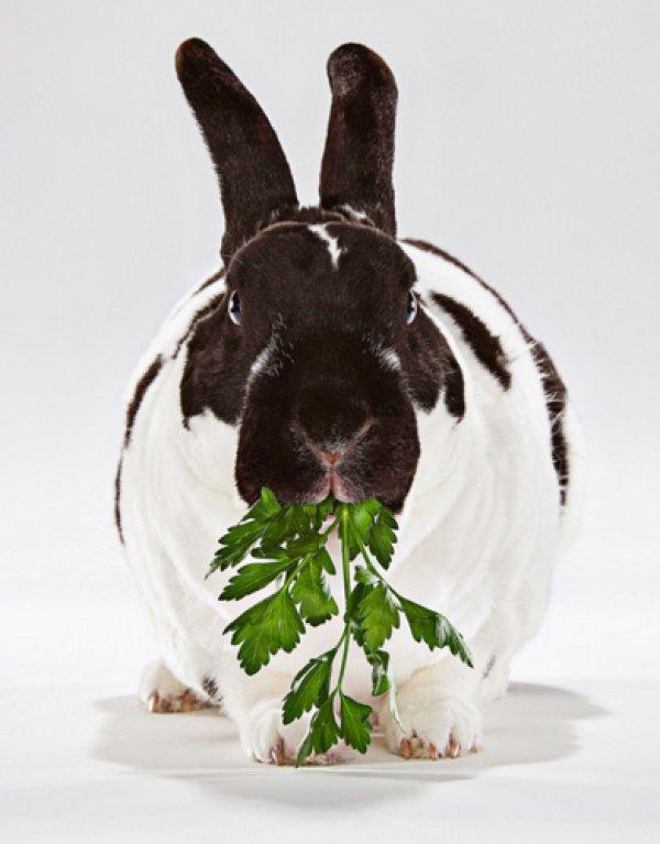 Кормления кроликов петрушкой или укропом