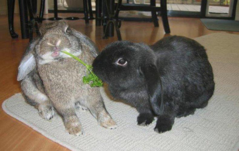 Кролики кушают петрушку