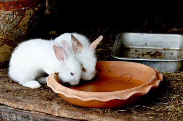 Йод для кроликов от кокцидиоза