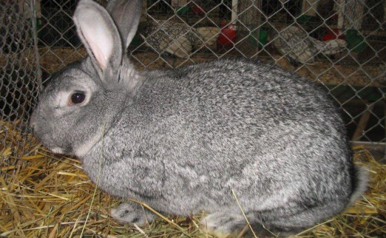 У нерожавшей крольчихи набухший красный сосок