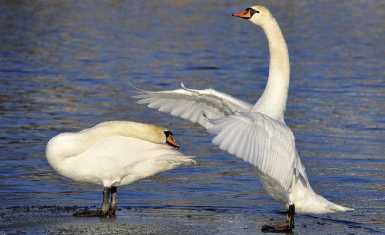Брачный сезон у лебедей