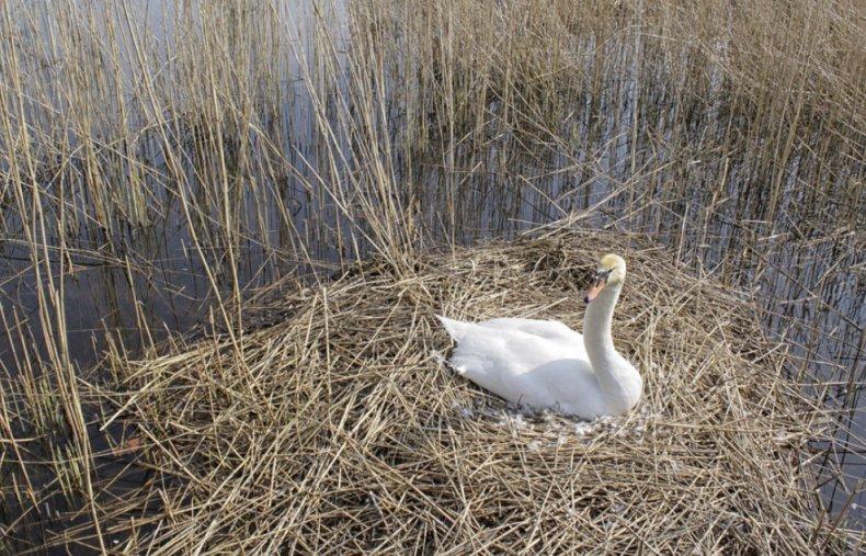 Гнездование лебедей