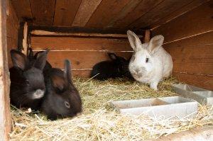 Племенное разведение кроликов