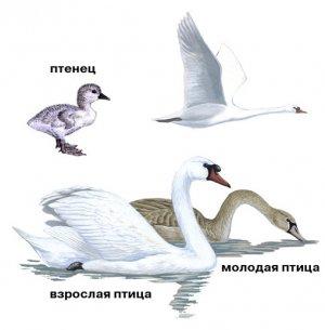 Лебеди: этапы взросления