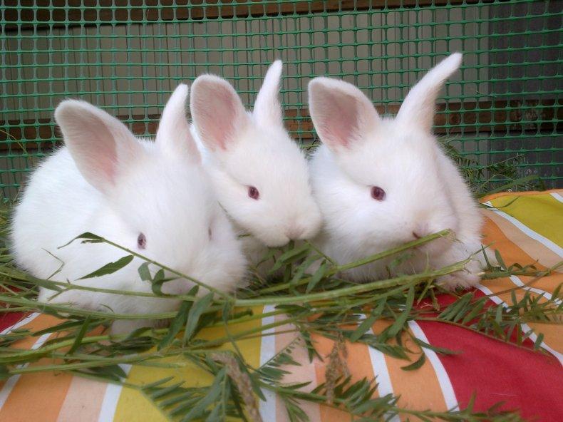 Племенные кролики