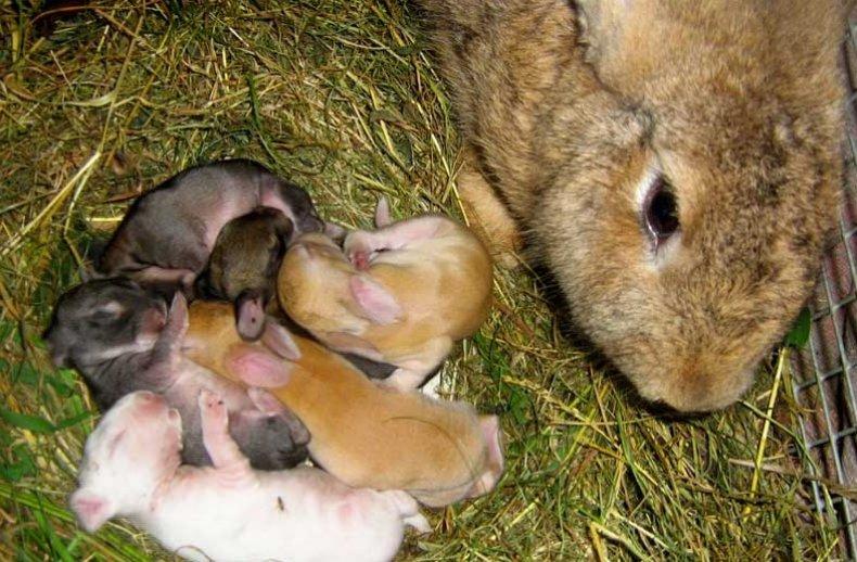 Крольчата в окроле