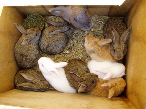 Как правильно выбрать кролика на племя: на что смотреть и обращать внимание