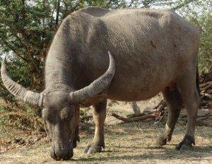 Азиатский (индийский водяной) буйвол описание, фото, где обитает, чем питается
