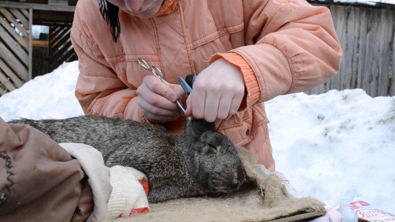 Протираем ушные раковины у кролика