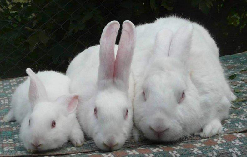 Новозеландские белые кролики
