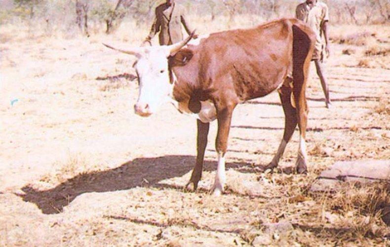 Анаплазмоз у коровы
