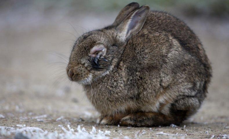 цистицеркоз, кролик, симптом, лечение, опасный