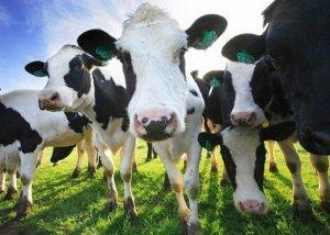 Блютанг (катаральная лихорадка) крупного рогатого скота симптомы, правила профилактики и борьбы