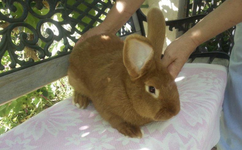 Новозеландская красная порода кроликов