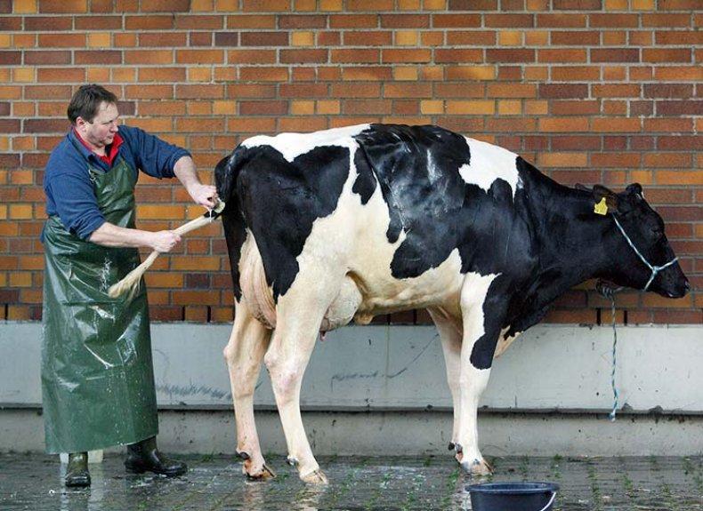 Уход за чистотой коровы