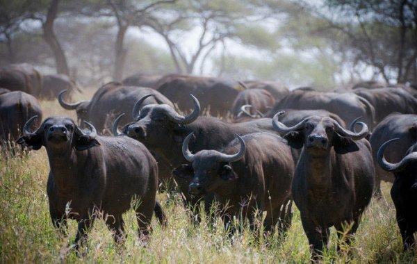 Виды буйволов целебесский буйвол