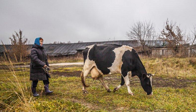 Выпас коровы поздней осенью
