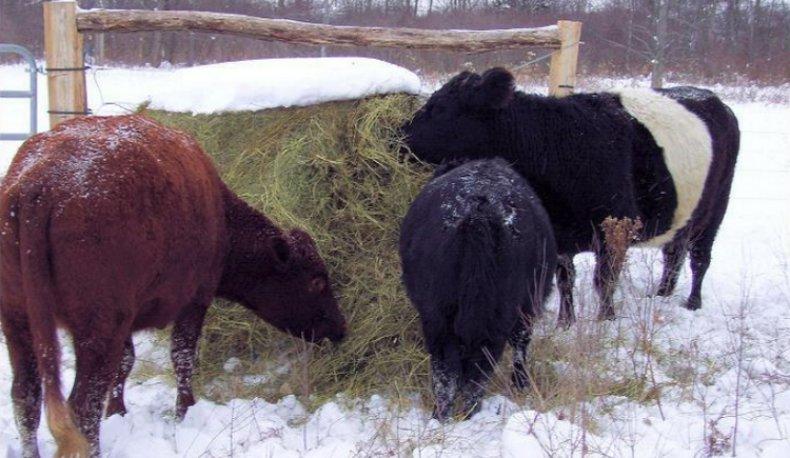 Подкорм коровы сеном