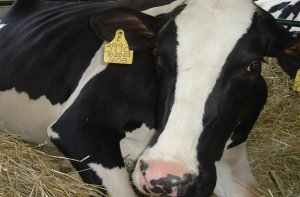 Послеродовое залеживание у коров