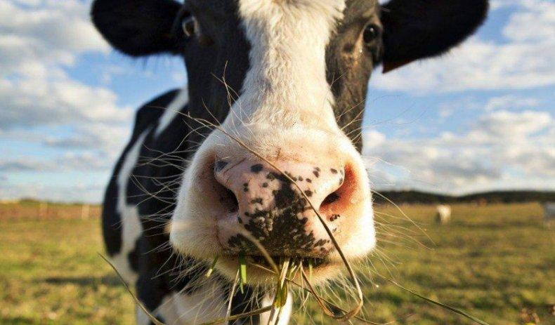 Причины обильного слюноотделения у коров