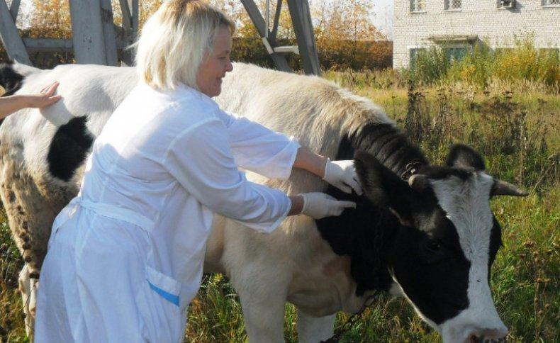 Вакцинация коровы