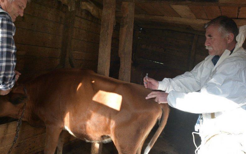 Прививка для коровы