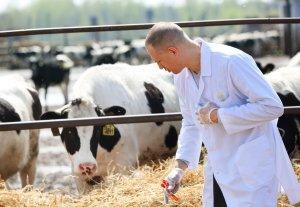 Бруцеллёз у коровы (КРС)