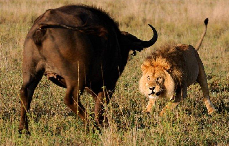 Африканский (чёрный) буйвол описание, вес, фото, где обитает, чем питается