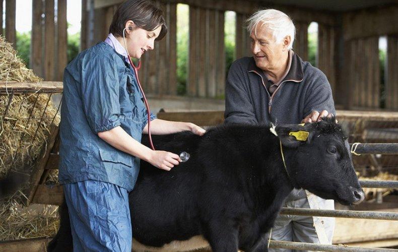 хламидиоз, рогатый, скот, симптом, лечение