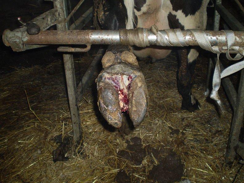 Ламинит у коровы