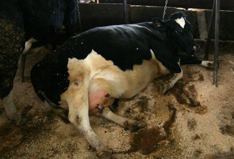 Фасциолёз у коровы
