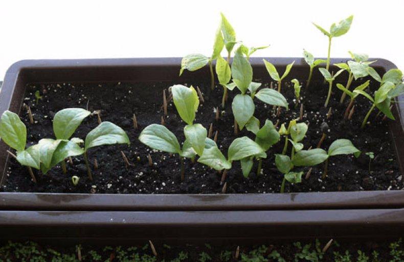 Посев семян магнолии