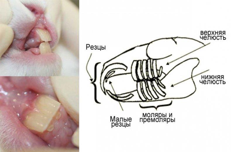 Построение челюсти зубов у кролика