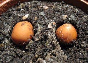 Семена магнолии