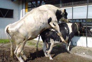 Спаривание коровы с быком
