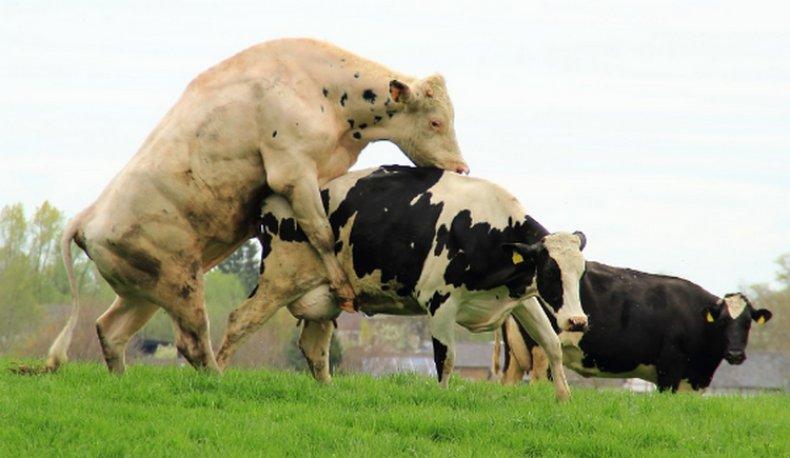 Случка коровы и быка