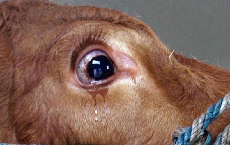 Слезятся глаза у коровы