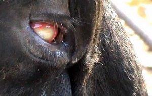 Красные глаза у коровы